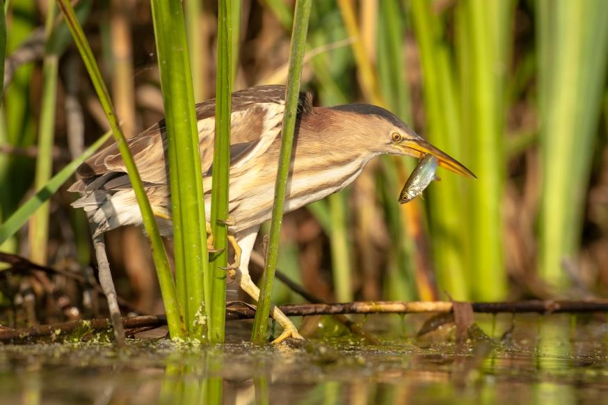 De bedreigde woudaap is een van de moerasvogels die de projectpartners hopen aan te trekken.